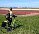 Radfahrer an einem Tulpenfeld
