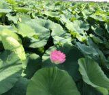 Italy Venice Mantua lake lotus