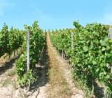 Mainz Cologne Rüdesheim vineyards