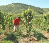 Wine checking grapes