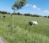 Flämische Landschaft mit einer blauen Kuh