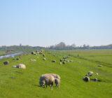 Wiese mit Schafen